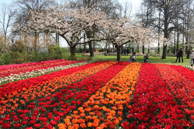 It's tulips time in Amsterdam