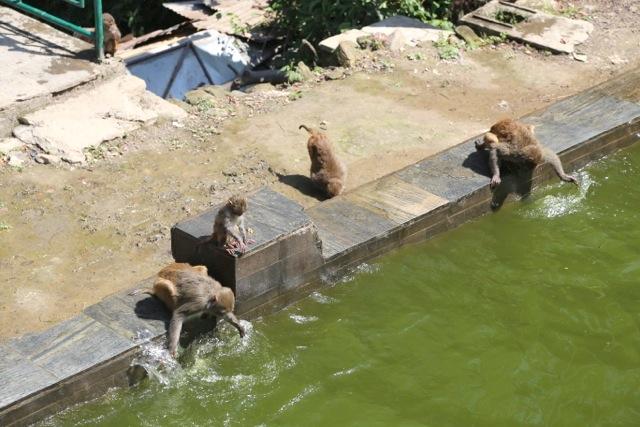 Monkeys frolicking