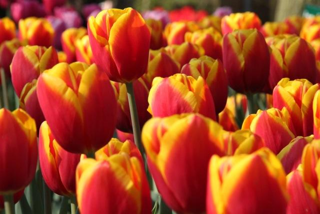 Friday photo: Tulips